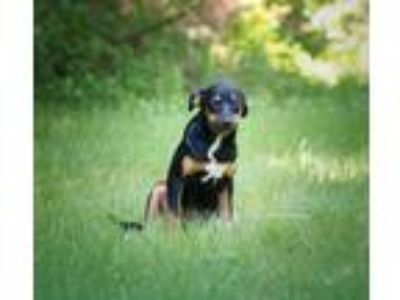 Adopt Mitzy-Avail NOW-CT a Black Hound (Unknown Type) / Mixed dog in Ellington
