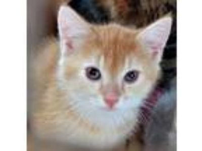Adopt Piglet (telford new victory) a Domestic Short Hair