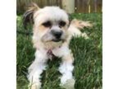Adopt Emma a Black - with Tan, Yellow or Fawn Shih Tzu / Terrier (Unknown Type