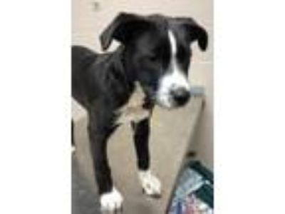 Adopt Shiloh a Black Labrador Retriever / Border Collie / Mixed dog in New