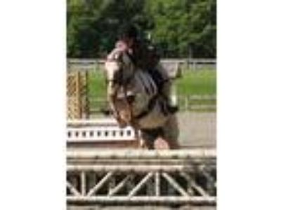 MelodyDarling 122h Welshx mare Preshort to reg small pony hunter