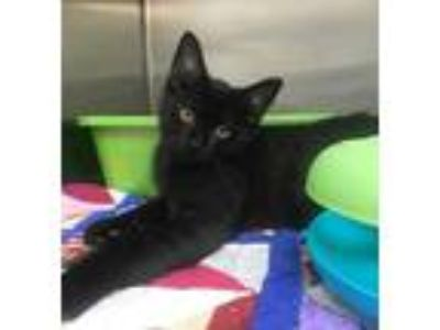 Adopt Woody a All Black Domestic Shorthair / Domestic Shorthair / Mixed cat in