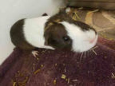 Adopt *TANGO a Black Guinea Pig / Mixed small animal in Upper Marlboro