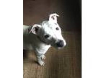 Adopt Shadow a White - with Black Dalmatian / Bull Terrier / Mixed dog in New