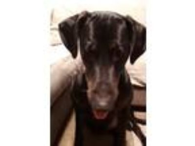 Adopt Guinness a Doberman Pinscher, Labrador Retriever
