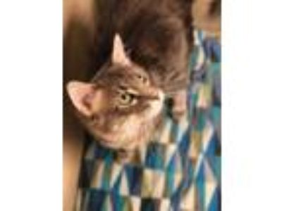 Adopt Willy a Gray or Blue Domestic Longhair / Domestic Shorthair / Mixed cat in