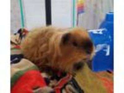 Adopt Lion-O a Guinea Pig small animal in Oceanside, CA (25316424)