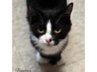 Adopt Beatrice 190188 a All Black Domestic Shorthair cat in Escanaba
