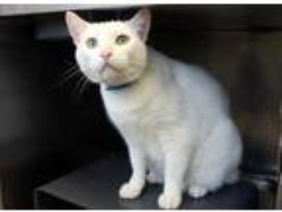 Adopt Blanko a White Domestic Shorthair / Domestic Shorthair / Mixed cat in