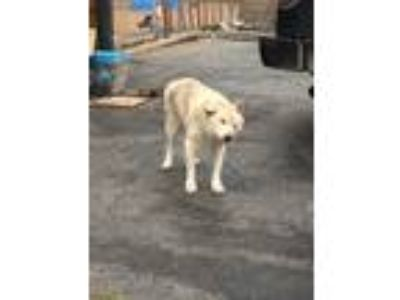 Adopt Pokey a White Shepherd (Unknown Type) / Mixed dog in Blanchard