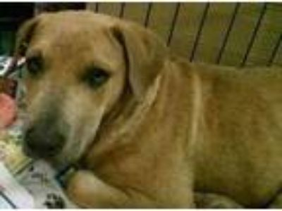 Adopt Comet a Pit Bull Terrier / Shar Pei / Mixed dog in Pembroke, GA (20440886)