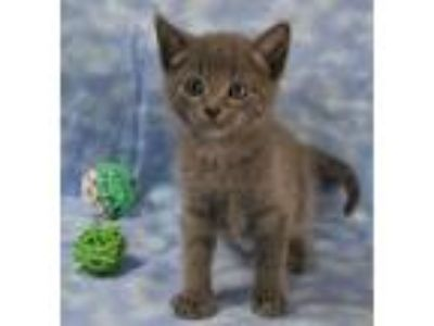 Adopt Ivan a Russian Blue, Domestic Short Hair