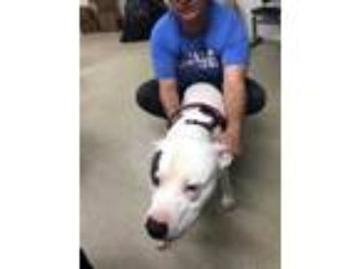 Adopt BK a Black American Pit Bull Terrier / Mixed dog in Fort Worth