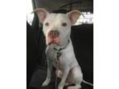 Adopt Jax a White American Staffordshire Terrier / Boxer / Mixed dog in Bronx