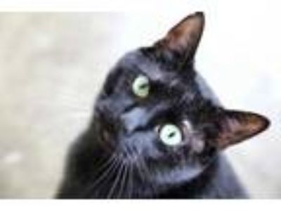 Adopt Potter a All Black Domestic Shorthair / Domestic Shorthair / Mixed cat in