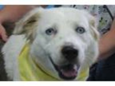 Adopt Laura a White Shepherd (Unknown Type) / Mixed dog in Robinson