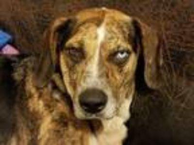 Adopt April a Black - with White Plott Hound / Beagle dog in Jacksonville