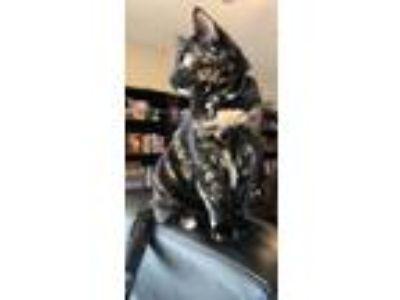 Adopt Katherine a Tortoiseshell Domestic Mediumhair cat in Murfreesboro