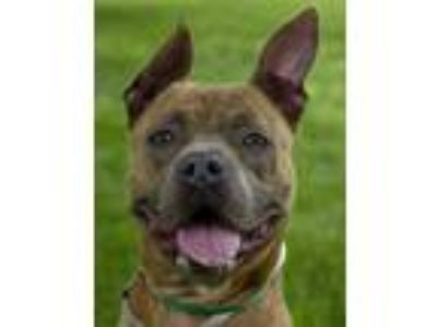 Adopt Aldrin a Brown/Chocolate American Pit Bull Terrier / Mixed dog in