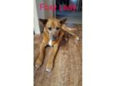 Adopt Foxy a Australian Cattle Dog / Blue Heeler