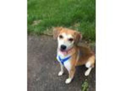 Adopt Sally Girl a Beagle