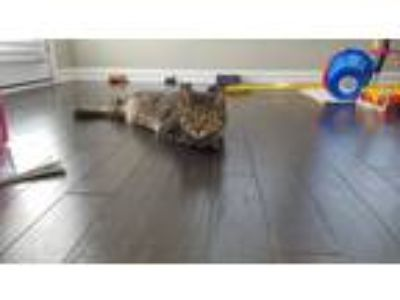 Adopt Luca a Black (Mostly) Domestic Shorthair / Mixed cat in Thompsons Station