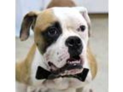 Adopt Shredder a Brown/Chocolate Boxer / Mixed dog in Picayune, MS (25837956)
