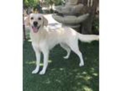 Adopt Princess a Tan/Yellow/Fawn Labrador Retriever / Mixed dog in Temecula