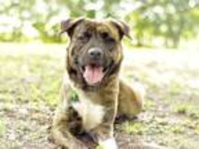Adopt CHASE a Brindle - with White Australian Shepherd / Labrador Retriever /