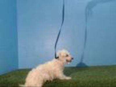 Adopt LADY a White Bichon Frise / Mixed dog in Orlando, FL (25555213)