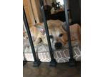 Adopt Meeko a Tan/Yellow/Fawn - with White Australian Shepherd / Border Collie