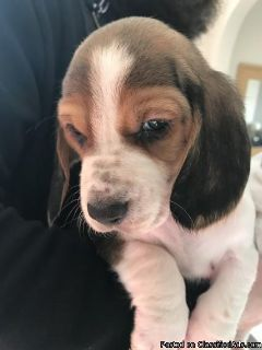 Basset Hound Dogs and Puppies for sale Text:(540)x268x0083