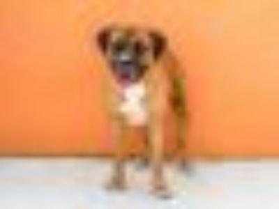 BUBBA American Bulldog - Mixed Breed Dog