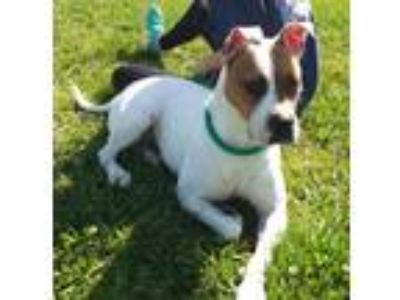 Adopt Helen a White - with Brown or Chocolate Boxer / American Pit Bull Terrier