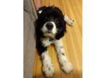 Adopt Benny a Black - with White Cocker Spaniel dog in Simpsonville