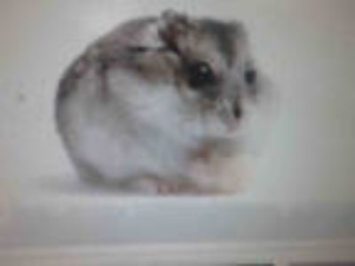 Adopt BASIL a White Hamster / Mixed small animal in Chatsworth, CA (24299195)
