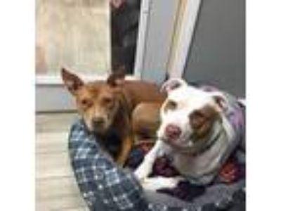 Adopt Radar a Pit Bull Terrier