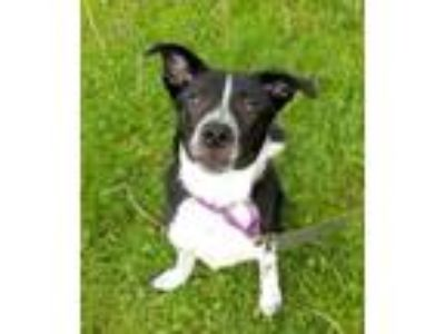 Adopt Quest a Border Collie