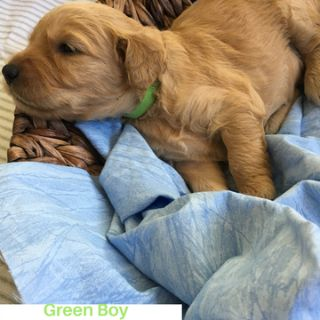 Goldendoodle PUPPY FOR SALE ADN-95211 - F1 Goldendoodle Puppies