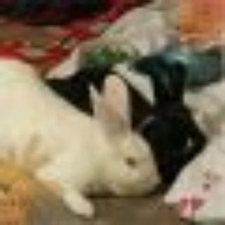 Huey and Chanel New Zealand - Dutch Rabbit