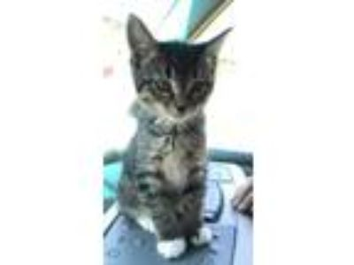 Adopt Jacqueline a Tabby, Domestic Short Hair