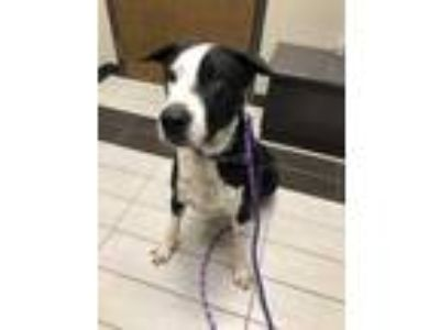 Adopt Rocky a Black - with White Great Dane / Mixed dog in Bartlett