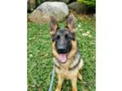 Adopt Ginger a German Shepherd Dog