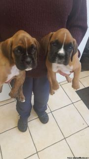 Shakle Boxer Puppies Available Today