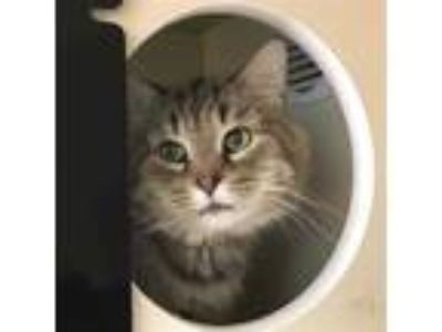 Adopt ITALY a Brown or Chocolate (Mostly) Domestic Shorthair / Mixed (short