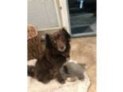 Adopt Penny a Brown/Chocolate Cocker Spaniel / Dachshund / Mixed dog in Lake