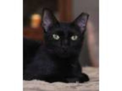 Adopt Inky a American Shorthair