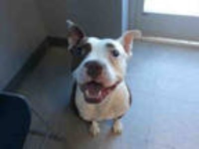Adopt CHESTER a Brown/Chocolate - with White American Pit Bull Terrier /