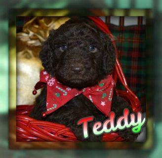 Teddy Male F1B Labradoodle