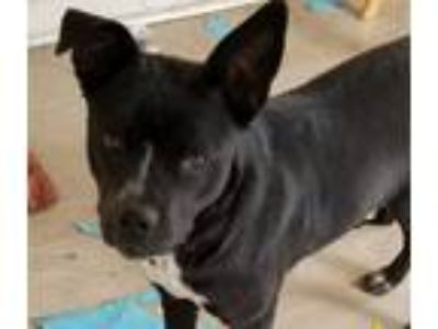 Adopt Sacagawea a Black - with White Labrador Retriever / Terrier (Unknown Type
